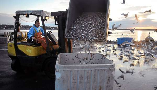 Reinaldo Perez-Chamorro dumps fish heads and other byproducts of the canning process into a large bin at the Stinson cannery in Prospect Harbor on Thursday. The company sells the byproducts to fishermen who use it as bait. &quotThey buy it from us for about half the price of what they would pay for bait elsewhere. A lot of fishermen are going to be unhappy when we shut down,&quot said James Beal, byproduct foreman.  (BANGOR DAILY NEWS PHOTO BY GABOR DEGRE)  CAPTION  Reinaldo Perez-Chamorro dumps fish heads and other by-products of the canning process into a large bin at the Stinson Sardine Cannery in Prospect Harbor Thursday.  The company sells the by-pruduct to fishermen who use it as bait.  &quotThey buy it from us for about half the price of what they would pay for bait elswhere.  A lot of fishermen are going to be unhappy when we shut down.&quot said James Beal the by-pruduct foreman at the company.