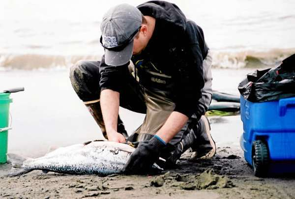 *** CORRECTS SPELLING OF BOULAY *** In this photo taken Thursday, July 22, 2010, Sean Boulay fillets a salmon after dipnetting on the Kenai River in Kenai, Alaska. Alaskans are creative when it comes to using pounds and pounds of fresh, smoked and canned salmon. There's salmon tacos, salmon souffle and salmon salad sandwiches. There's salmon loaf, salmon chowder and salmon jerky. There's smoked salmon cheeseballs, smoked salmon strips and salmon pasta salad. You get the idea. Alaskans love their salmon. (AP Photo/Mark Thiessen)