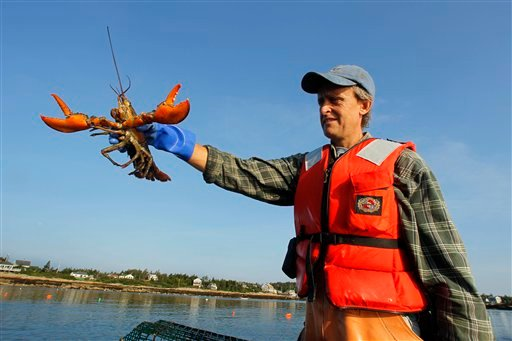 In this Wednesday, July 28, 2010 photo, lobsterman Nat Hussey holds a lobster caught off Matinicus Island, Maine.  (AP Photo/Robert F. Bukaty)