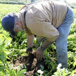 Potato growers seek help from above to fight late blight