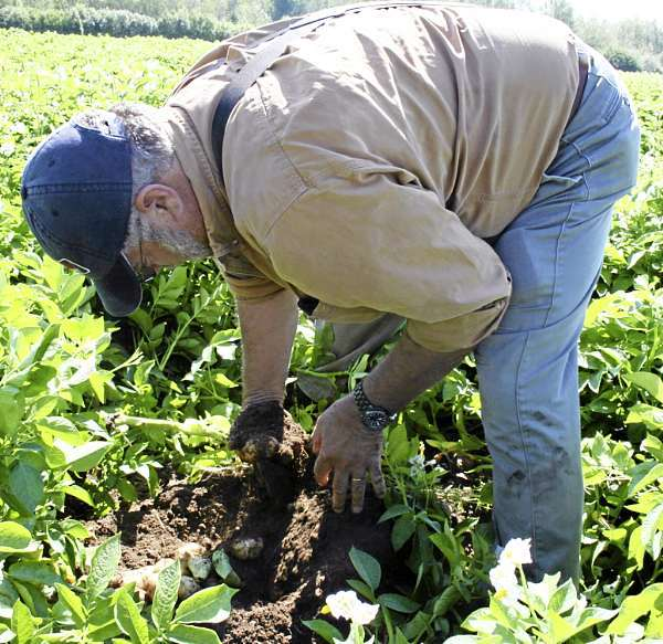 BRUCE ROOPE, of Roope Farm in Presque Isle, digs up some of the Shepody potatoes that were planted this spring in a Reach Road field to check their size and quality. Roope said the potatoes are looking good and hopes more rain will fall by September. This year Maine farmers planted 55,500 acres of potatoes; 10 percent of those are outside of Aroostook County. (Staff photo/Scott Mitchell Johnson)