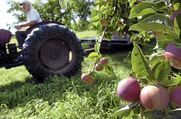 Roger Newey of Hillcrest Orchards in Winterport prepares to spot-pick some early McIntosh apples Friday, Aug. 13, 2010 at the 13-acre farm. Newey began spot-picking last week and expects the fall McIntosh apples to be equally early by a week to 10 days. (Bangor Daily News/Bridget Brown)
