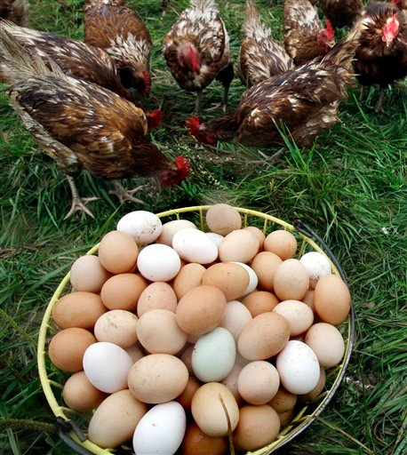 Golden comet chickens mill around in the grass next to a basket of freshly gathered eggs at Pete & Jen's Backyard Birds, a small organic farm in Concord, Mass., Monday, Aug. 23, 2010. Eggs from Massachusetts farms have not been affected by the FDA's massive recall of more than a half-billion eggs. (AP Photo/Elise Amendola)