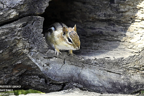 The Chipmunk was Shot at the Maine Wildlife Park in Gray during the recent pow-wow. Aug. 14?)