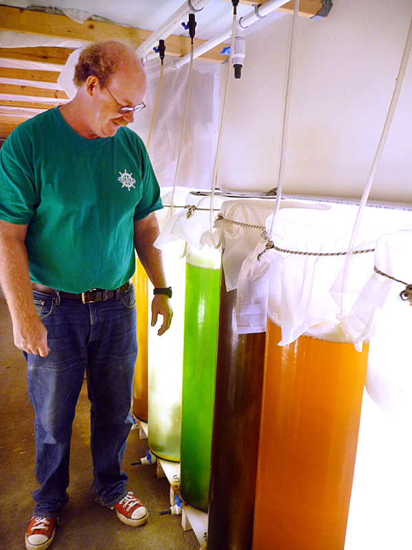 University of Maine Professor Brian Beal raises seven different varieties of phytoplankton, used to feed juvenile lobsters, clams and oysters that are studied at the Down East Institute on Great Wass Island. Each color represents a different type of phytoplankton.   BANGOR DAILY NEWS PHOTO BY SHARON KILEY MACK