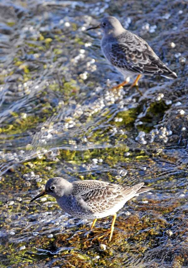 The purple sandpiper is seen on the Rockland Breakwater in the winter.  (BANGOR DAILY NEWS PHOTO BY JOSHUA BRIGHT)  CAPTION  The Purple Sandpiper is seen on the Rockland breakwater in the winter. Joshua Bright