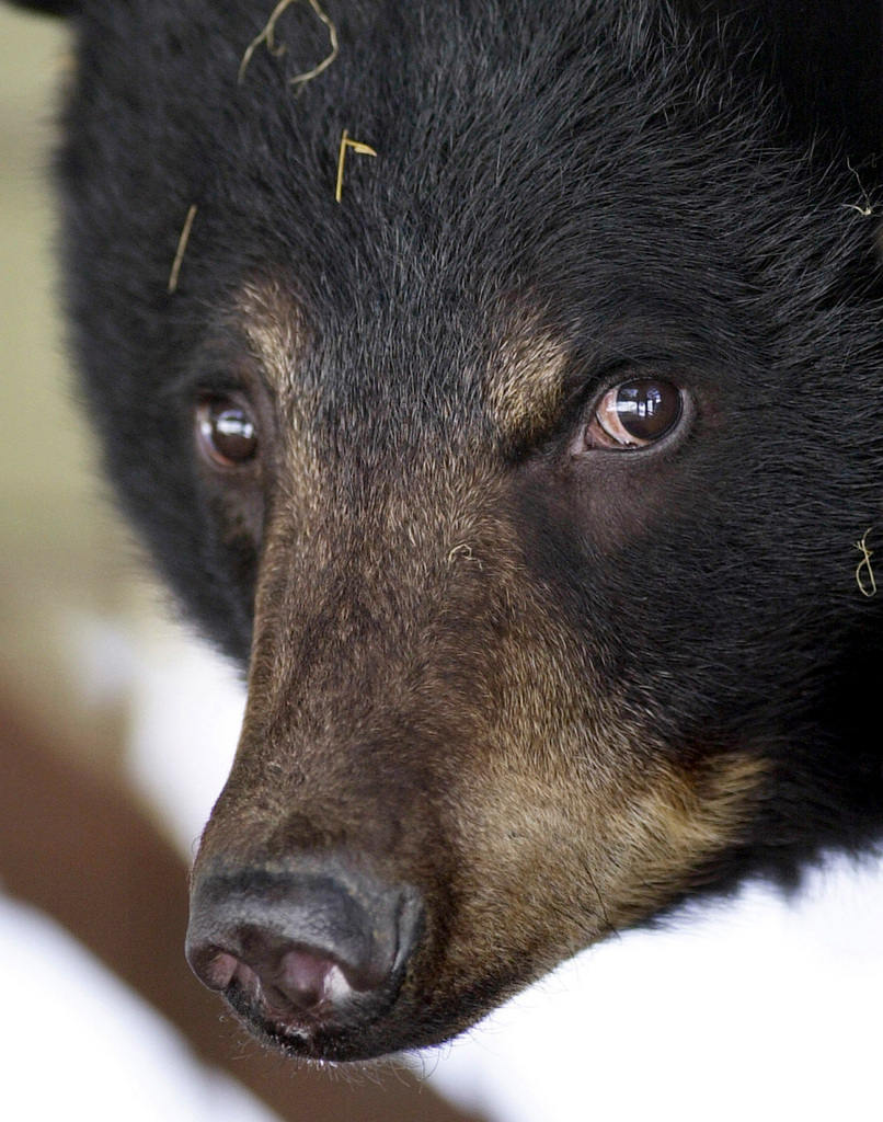 FILE - This April 9, 2003 file photo shows a female black bear coming out of hibernation at the Howell Wildlife Conservation Center in Amity, Maine. Wildlife biologists are using extracted teeth from bears killed by hunters to monitor Maine's bear population and determine how best to manage it. (AP Photo/Robert F. Bukaty, File)
