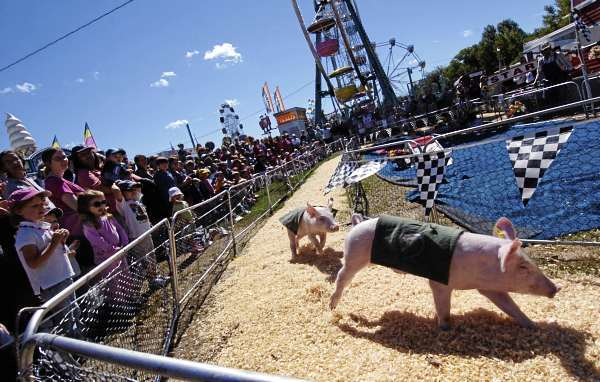 Rosie's Racing Pigs from Gibsonton, Florida round the bend as hundreds of fairgoers, young and old, cheer them on at the Blue Hill Fair Sunday, September 5, 2010. The annual fair kicked off Thursday and runs through Labor Day. (Bangor Daily News/John Clarke Russ)