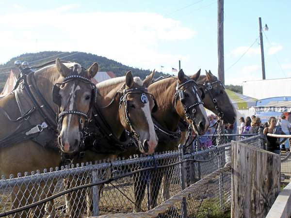 Draft horses line up at the pulling ring Monday on the last day of the Blue Hill Fair.  (Bangor Daily News Photo by Rich Hewitt)
