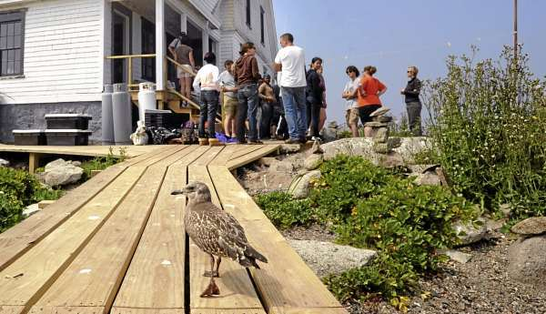 A herring gull chick walks on the boardwalk near the former lighthouse keeper's house that is home to COA researchers and students during the summer on Mount Desert Rock.  The college's whale research station was severely damaged by Hurricane Bill in 2009, including the original concrete and brick walkway that was washed away in several very large pieces and was replaced by the boardwalk.  The lightkeeper's house had several windows and a door broken by the waves and all the furniture and equipment downstairs was destroyed.  (Bangor Daily News/Gabor Degre)