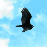Hawks begin to migrate, and Acadia watches