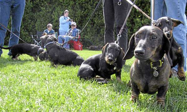Not all the dachshunds were lapdogs, according to Susanne Hamilton of Montville, who brought her pet to the 7th Annual Belfast Wienerfest. These wirehaired dachshunds were bred to be hunters and trackers, and can run for miles in the woods to find wounded deer, she said. (Bangor Daily News/Abigail Curtis)
