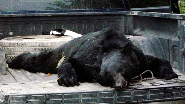 Photo of the bear that attacked Ryan Shepard while he was hunting in T5R7 near the base of Sugarloaf Mountain, not far from the village of Shin Pond, Monday morning, September 13, 2010. (PHOTO: COURTESY OF JENNIFER SHEPARD)