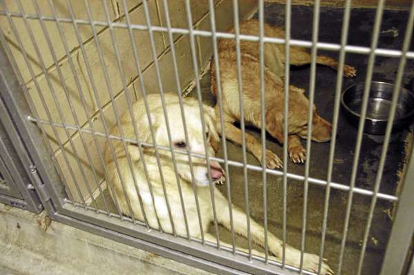 Two golden retrievers or yellow Labrador retrievers who are among the six dogs rescued from an Enfield home by state officials were resting comfortably in the Penobscot Valley Humane Society shelter in Lincoln on Wednesday. BANGOR DAILY NEWS PHOTO BY NICK SAMBIDES JR.
