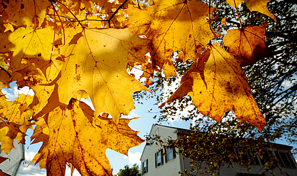 Maple leaves in the Fall of 2009 in Hampden. (Bangor Daily News/Gabor Degre)