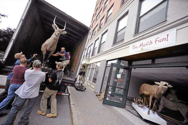 Gary Robichaud (standing in truck), maintenance facility supervisor for the Maine Discovery Museum in Bangor, helps students from Nokomis Regional High School's taxidermy program and from the Tri-County Technical Center Commercial Truck Driving Program load a mounted water buck into a truck for transport Wednesday. They hope to repair some of the animals and secure a permament home for them . (Bangor Daily News/John Clarke Russ)