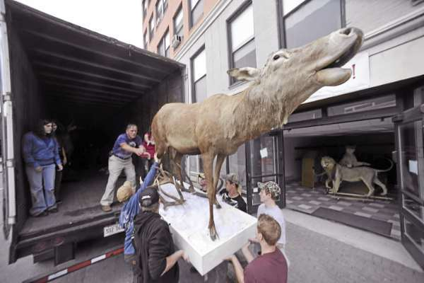Gary Robichaud (standing in truck),  maintenance facility supervisor for the Maine Discovery Museum in Bangor, helps students from Nokomis Regional High School's taxidermy program and from the Tri-County Technical Center Commercial Truck Driving Program load a mounted elk from the Discovery Museum and into a truck for transport Wednesday. They hope to repair some of the animals and secure a permament home for them . (Bangor Daily News/John Clarke Russ)