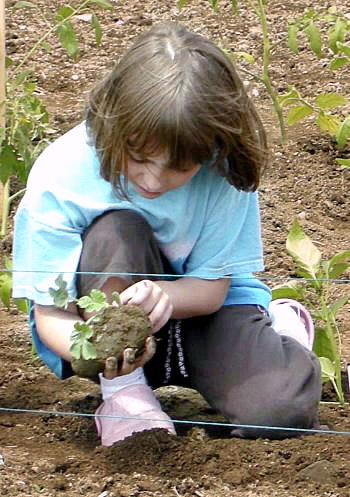 Krysta McLaughlin examines the roots of a cucumber plant before planting it last June in the Woodland Community Garden. The Woodland Community School hosted a Harvest Lunch this week to share the crop with students and local residents. PHOTO BY NATALIE BAZINET/AROOSTOOK REPUBLICAN