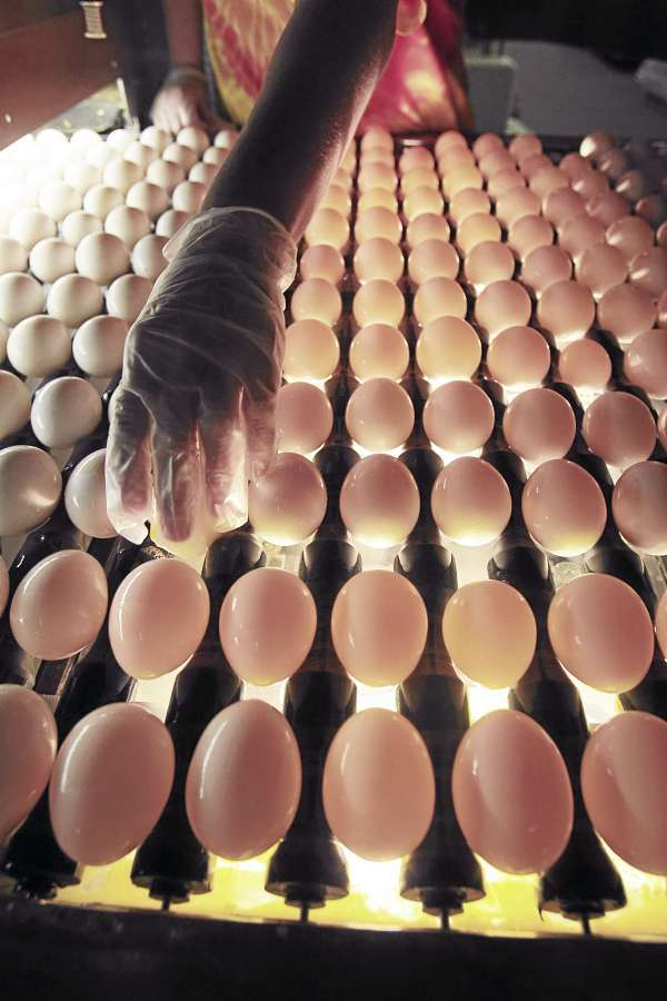 A United States Department of Agriculture inspector checks eggs at Quality Egg of New England in Turner, Maine, last year.