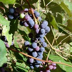 Janine Pineo PhotoA bunch of Concord grapes hang from the vine last weekend. It takes about 4 pounds of grapes to make a batch of jelly.