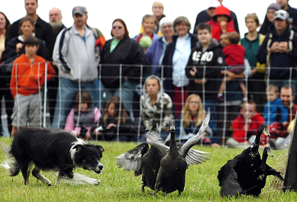 A border collie herds Indian Runner Ducks during a sheepdog demonstration at the Common Ground Fair on Friday, September 24, 2010. David Kennard of Harrisville N.H., along with five of his working dogs, sheep, goats and ducks entertained the crowd of school children and adults for an hour at the Unity fairgrounds. Kennard will be offering his demo again on Saturday and Sunday at 12 and 2 pm.    BANGOR DAILY NEWS PHOTO BY KEVIN BENNETT