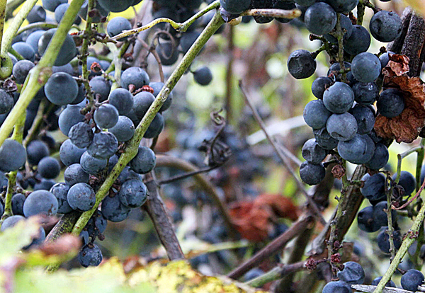 grape2: Beta Concord grapes are ripe for picking Sept. 27 at the Neil and Joyce Estabrooke's farm in Stetson. (Bangor Daily News/Aislinn Sarnacki)