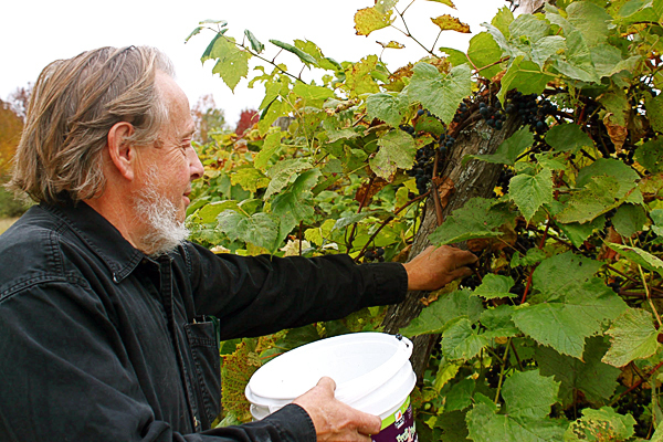 grape1: Neil Estabrooke picks grapes Sept. 27 at his small farm in Stetson. (Bangor Daily News/Aislinn Sarnacki)