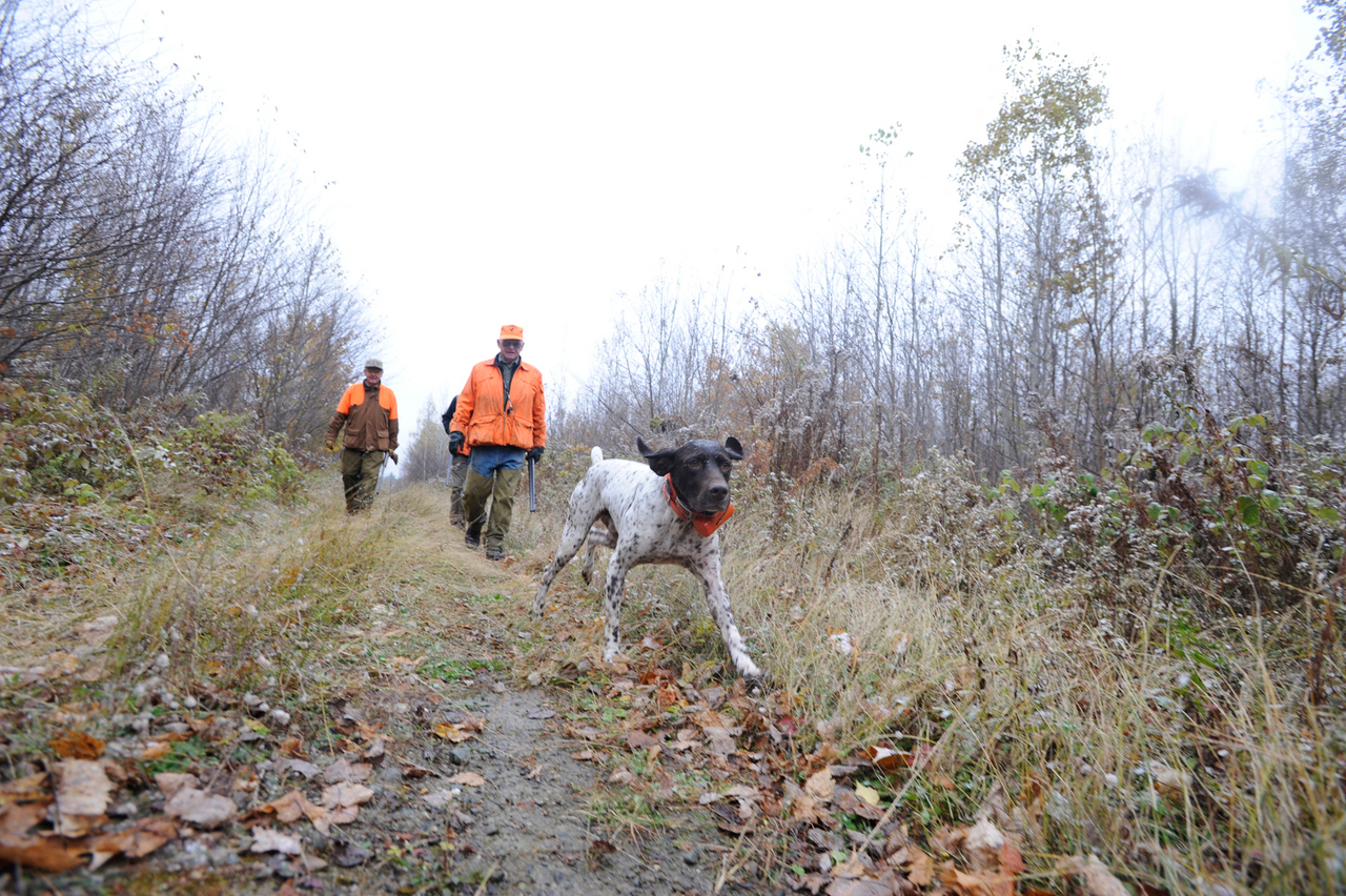 Ken Berger of London,OH keeps an eye on for his energetic German Shorthaired Pointer &quotWillie&quot as he, guide Art Wheaton (obscured) and fellow hunter Jim Ryan (left) of Connecticut walk along a dirt road in Forest City, Maine on October 22, 2009. They were looking for American Woodcock and Rough Grouse. (Bangor Daily News/John Clarke Russ)