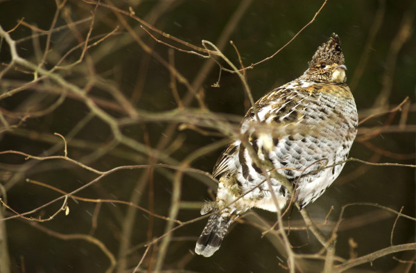 A PARTRIDGE IN A BARE TREE   A partridge, with its feathers fluffed up in the morning cold, making it as big as a football, perches in bushes as it begins to snow Monday.  The well-camouflaged bird is also known as the ruffed grouse. (Bangor Daily News photo by Scott Haskell)