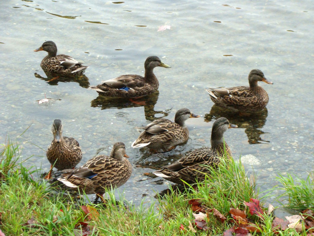 A flock of ducks scavenge for food along the shore of Kingsbury Pond in Kingsbury Plantation on Saturday, Oct. 2, 2010. Buy Photo