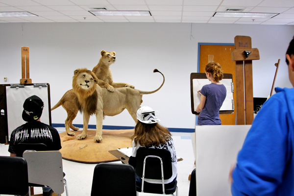 Students in Chuck Hamm's art portfolio class at Belfast Area High School recently had the chance to sketch the stuffed and mounted lions that arrived at the school last week. The lions, originally part of the Smithsonian Institution, are on loan from Nokomis Regional High School and will be displayed in the lobby at BAHS. photos courtesy of Chuck Hamm, art teacher at Belfast Area High School.