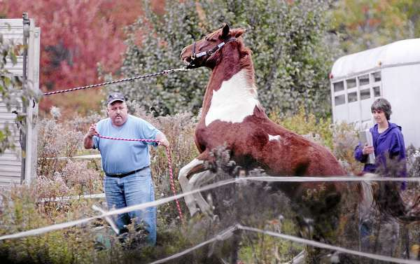 Dedham Animal Control  Officer Daniel Joy, left, helped reign in a horse as he and others brought six distressed horses inside a trailer for removal from a property on Bald Mountain Road in Dedham Wednesday afternoon, October 6, 2010. Watching on the right was attorney Christina Perkins, chair of the Animal Welfare Advisory Council.   According to neighbors, the horses' owner has been away from the property for nearly a week, leaving the horses outside without much food. (Bangor Daily News/John Clarke Russ)
