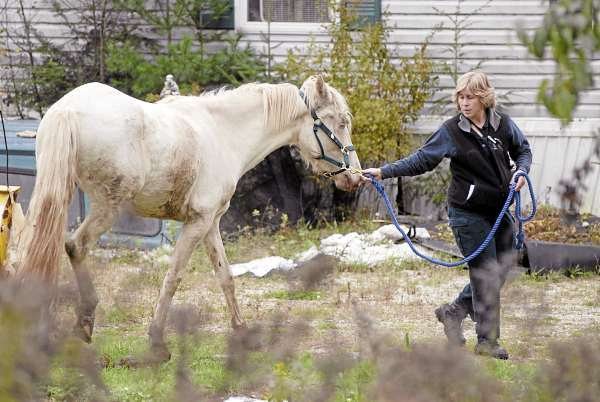 Maine Animal Welfare veterinarian Christine Fraser (cq) walks one of six horses corralled in a yard off Bald Mountain Road in Dedham before  she and others removed them with a livestock trailer Wednesday afternoon, October 6, 2010.  According to neighbors, the horses' owner has been away from the property for nearly a week, leaving the horses outside without much food. (Bangor Daily News/John Clarke Russ)