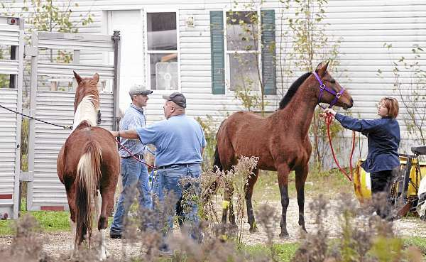 Left to right: Livestock trailer driver Derek Dunham (cq) of  Tilton's Auctions in Corinth, Dedham animal control officer Daniel Joy and Maine Animal Welfare Program district humane agent Chrissy Perry (cq) load six horses inside inside the livestock trailer for removal from a property on Bald Mountain Road in Dedham Wednesday afternoon, October 6, 2010.  According to neighbors, the horses' owner has been away from the property for nearly a week, leaving the horses outside without much food. (Bangor Daily News/John Clarke Russ)