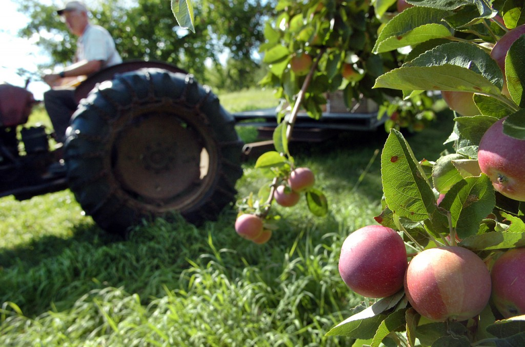 CAPTION Roger Newey of Hillcrest Orchards in Winterport prepares to spot-pick some early McIntosh apples Friday, Aug. 13, 2010 at the 13-acre farm. Newey began spot-picking last week and expects the fall McIntosh apples to be equally early by a week to 10 days. (Bangor Daily News/Bridget Brown)    (WEB EDITION PHOTO)