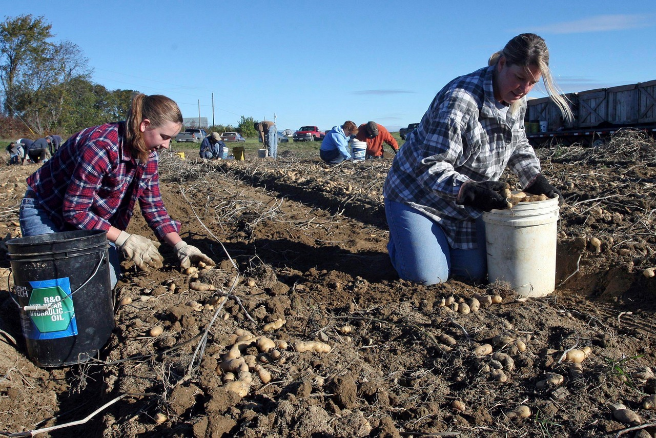 Halle Duff (left) and her mother Marcia Duff of Monticello are hard at work Monday morning filling buckets with the ?fingerling? seed potatoes on the Littleton farm of David and Robert Bartlett. The seedlings can only be harvested by hand. HOULTON PIONEER TIMES PHOTO BY JOSEPH CYR