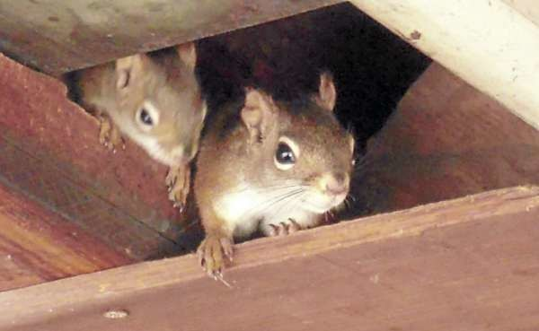 Red squirrel siblings peek out from the ceiling of Kathryn Olmstead's garage this spring in Caribou. (Photo courtesy of Kathryn Olmstead)