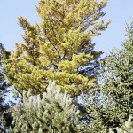 White Pine Needle Disease generates concern in Maine