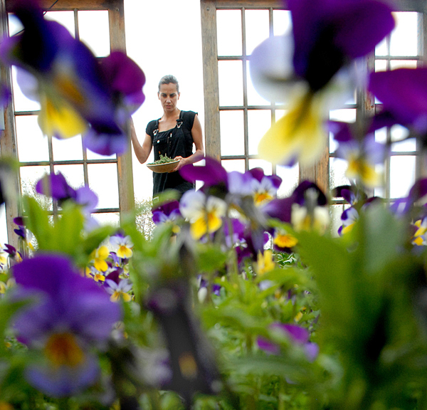 Primo chef Melissa Kelly picks fresh produce in the Rockland restaurant's greenhouse where Johnny-jump-ups and violas are in bloom. (BANGOR DAILY NEWS PHOTO BY JOSHUA BRIGHT)