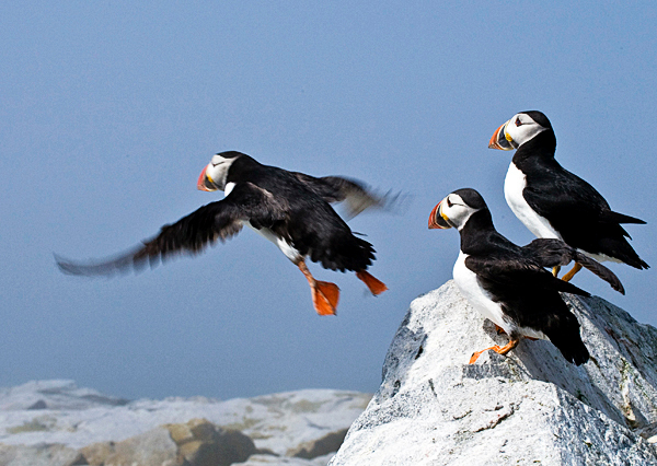 An Atlantic puffins jumps into flight on Machias Seal Island in a photo taken July 2008 by wildlife photographer John Fast, 68, of New London, Conn. Photo courtesy of John Fast
