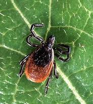 The Maine Medical Research Institute has asked for residents of northern and western Maine to submit ticks, such as the adult deer tick pictured above, for a study of Lyme disease in Maine. Ticks remain active in Maine well into the fall.