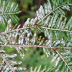 Science, bugs team up to fight hemlock-eating pest