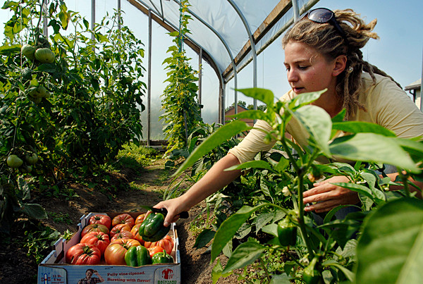 Sara Trunzo gathers tomatoes and green pepper from a demonstaton garden on at Unity college in 2008.   BANGOR DAILY NEWS PHOTO BY JOHN CLARKE RUSS
