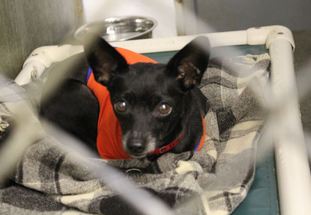 The Humane Society of Knox County took in 15 chihuahuas from Los Angeles Tuesday night. The dogs are all up for adoption. The Thomaston shelter took a batch of chihuahuas in May from the kill shelter in California and had more applications than dogs. Some of the left-over applicants will now get their pets. Interested adopters should visit the shelter between 11 a.m. and 5 p.m. Monday through Saturday. (Bangor Daily News/ Heather Steeves)