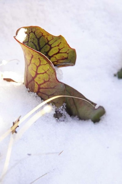 Surrounded by the beginnings of winter, the veins of a pitcher plant are highlighted by the late fall sun, which sits low in the sky on Sunday, Nov. 28, 2010 at the Orono Bog Boardwalk.(Bangor Daily News/Scott Haskell)