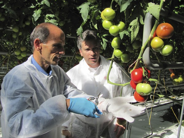 Gov. John Baldacci (left) prepares to cut a cluster of tomatoes from the vine in 2009 during a ceremony at Backyard Farms in Madison. The company, which produces vine-ripened tomatoes, was celebrating the first harvest from its new 18-acre greenhouse. Looking on is Backyard Farms President and CEO Roy Lubetkin.
