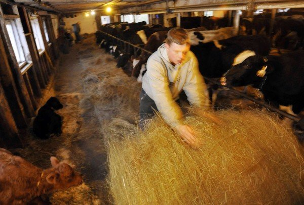 William Shibles rolls out more hay to feed the registered Holsteins in the dairy barn at Willow Drive Farm in Winterport Wednesday afternoon, Dec. 1, 2010.  He is related by marriage to the 5 generations of the Clark family that have raised dairy and beef cows at at their farm off Goshen Rd. in Winterport. Shible's mother-in-law, farm co-owner Sonya Ginn, noted that their farm has saved money as family members are the hired hands. They have 80 milking cows, 40 heifers and 30 beef cattle.  (Bangor Daily News/John Clarke Russ)