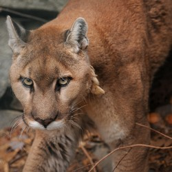 Biologists impressed by roving Connecticut cougar