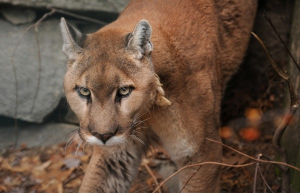(BANGOR DAILY NEWS PHOTO BY GABOR DEGRE)  CAPTION  This male Mountain Lion at the Maine Wildlife Park in Gray was born at the facility 17 years ago. Park Superintendent Curt Johnson said that the size of the two Mountain Lions at the facility are on the smaller end of the range but in the wild males can weigh as much as 200 pound and females up to about 150 lbs.  The last conirmed Mountain Lion in Maine was an animal that was shot in 1938 in the Northern part of the State. (Bangor Daily News/Gabor Degre)