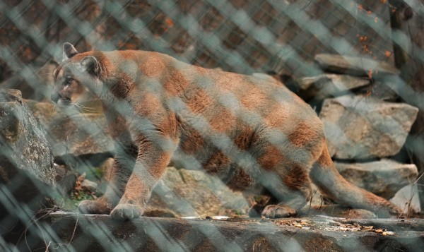 (BANGOR DAILY NEWS PHOTO BY GABOR DEGRE)  CAPTION  This female Mountain Lion at the Maine Wildlife Park in Gray was born in captivity and has been at the park for several years.  Park Superintendent Curt Johnson said that the size of the two Mountain Lions at the facility are on the smaller end of the range but in the wild males can weigh as much as 200 pound and females up to about 150 lbs.  The last conirmed Mountain Lion in Maine was an animal that was shot in 1938 in the Northern part of the State. (Bangor Daily News/Gabor Degre)